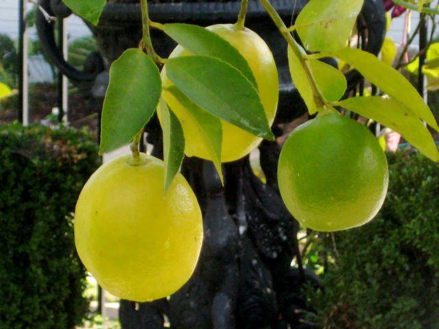 Lemonsbig